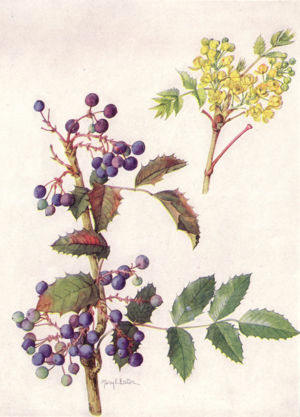 oregongrape-drawing